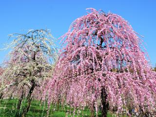 Weeping Plum Tree Festival