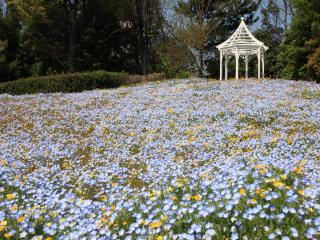 Nagoya Port Wildflower Garden - Bluebonnet