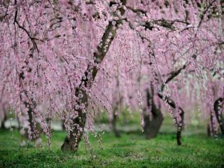 Famous Blossom Viewing Spots in Aichi & Nagoya